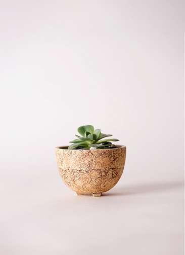 多肉植物 エケベリア 七福神(しちふくじん) 3号 Type02 desert #γ 【S size】
