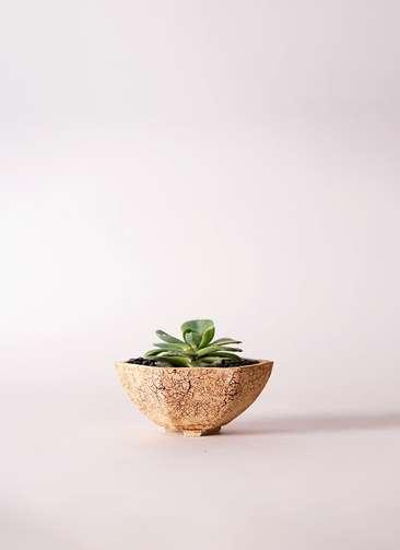 多肉植物 エケベリア 七福神(しちふくじん) 3号 Type02 desert #δ 【M size】