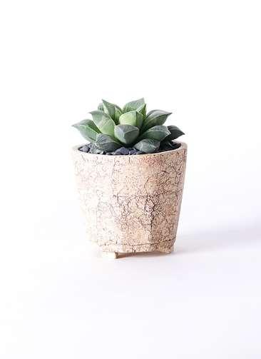 多肉植物 ハオルチア オブツーサ 寿晃糊斑(としあきこはん) 3号 Type02 desert #β 【M size】