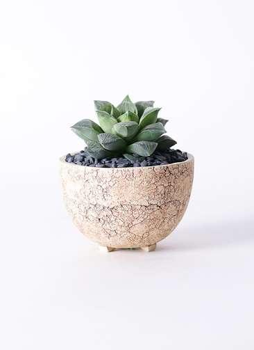 多肉植物 ハオルチア オブツーサ 寿晃糊斑(としあきこはん) 3号 Type02 desert #γ 【S size】