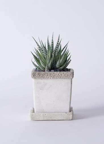 多肉植物 ハオルチア 十二の巻(じゅうにのまき) 3号 リト キューブ3号 受け皿付き