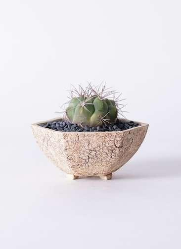 サボテン ギムノカリキウム 新天地錦(しんてんちにしき) 3号 Type02 desert #δ 【M size】