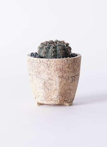 サボテン ギムノカリキウム 瑞昌玉(ずいしょうぎょく) 3号 Type02 desert #β 【S size】