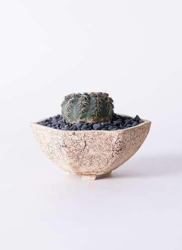 サボテン ギムノカリキウム 瑞昌玉(ずいしょうぎょく) 3号 Type02 desert #δ 【M size】