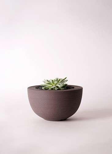 多肉植物 エケベリア 静夜(せいや) 3号 Hemisphere 【L size】