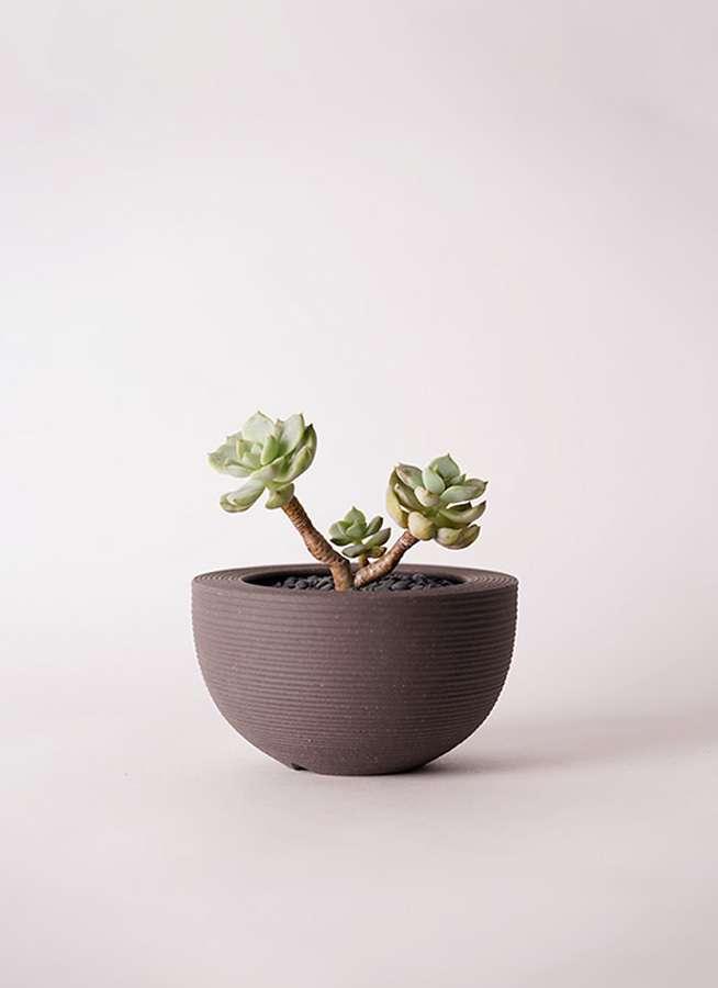 多肉植物 エケベリア 白牡丹(しろぼたん) 3号 Hemisphere 【M size】
