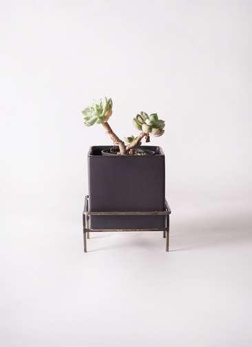 多肉植物 エケベリア 白牡丹(しろぼたん) 3号 Iron Stand Pot C5303 付き