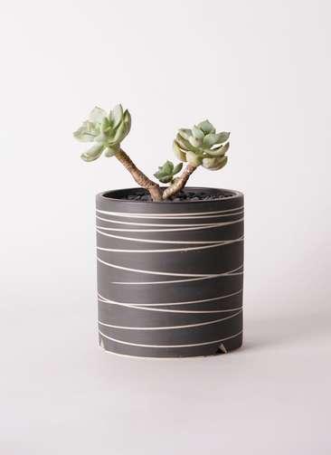 多肉植物 エケベリア 白牡丹(しろぼたん) 3号 Kross 【L size】