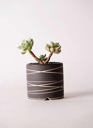 多肉植物 エケベリア 白牡丹(しろぼたん) 3号 Kross 【M size】