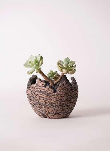 多肉植物 エケベリア 白牡丹(しろぼたん) 3号 Type01 fang 【S size】