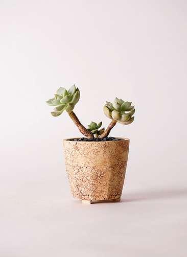 多肉植物 エケベリア 白牡丹(しろぼたん) 3号 Type02 desert #β 【M size】