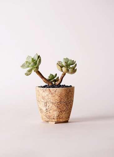 多肉植物 エケベリア 白牡丹(しろぼたん) 3号 Type02 desert #β 【S size】