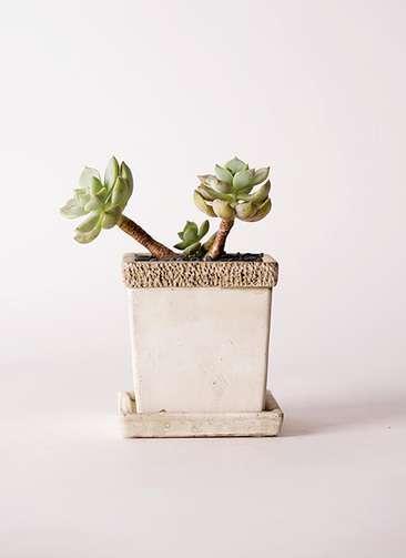 多肉植物 エケベリア 白牡丹(しろぼたん) 3号 リト キューブ3号 受け皿付き