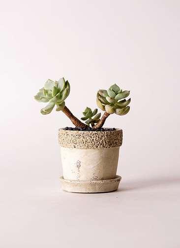 多肉植物 エケベリア 白牡丹(しろぼたん) 3号 リト ラウンド3号 受け皿付き