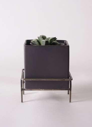 多肉植物 ハオルチア 氷雨(ひさめ) 3号 Iron Stand Pot C5303 付き