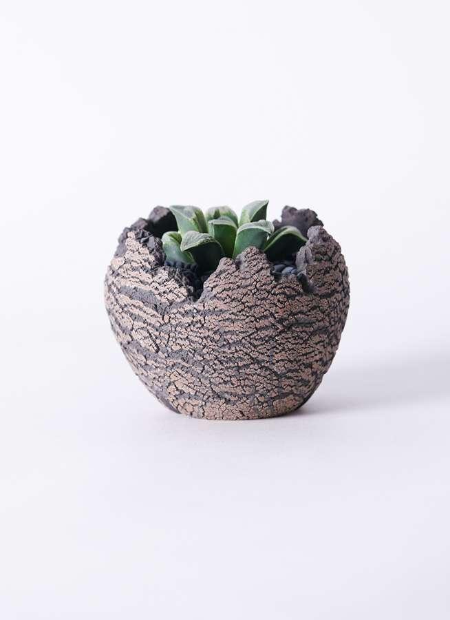 多肉植物 ハオルチア 氷雨(ひさめ) 3号 Type01 fang 【S size】
