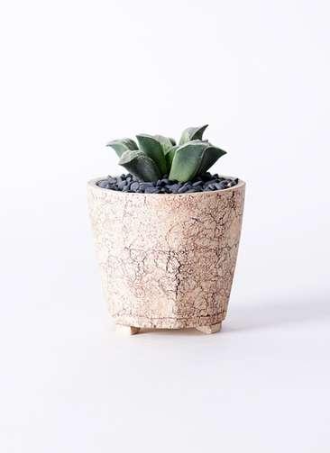 多肉植物 ハオルチア 氷雨(ひさめ) 3号 Type02 desert #β 【M size】