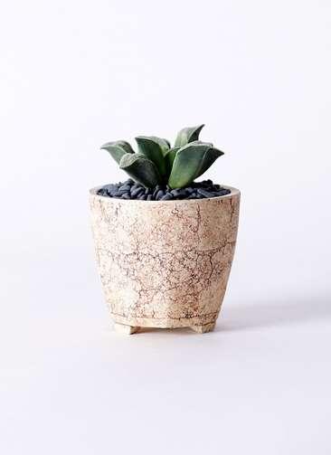多肉植物 ハオルチア 氷雨(ひさめ) 3号 Type02 desert #β 【S size】