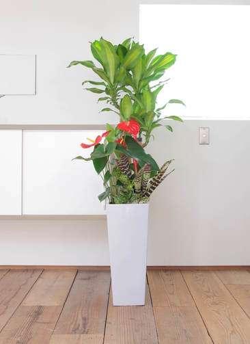 観葉植物 ドラセナ 幸福の木 寄せ植え 8寸角高陶器