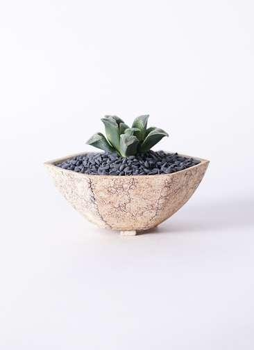 多肉植物 ハオルチア 氷雨(ひさめ) 3号 Type02 desert #δ 【M size】
