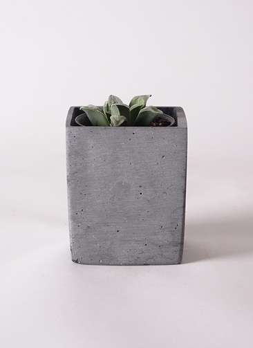 多肉植物 ハオルチア 氷雨(ひさめ) 3号 ポリストーンキューブSブラック 付き