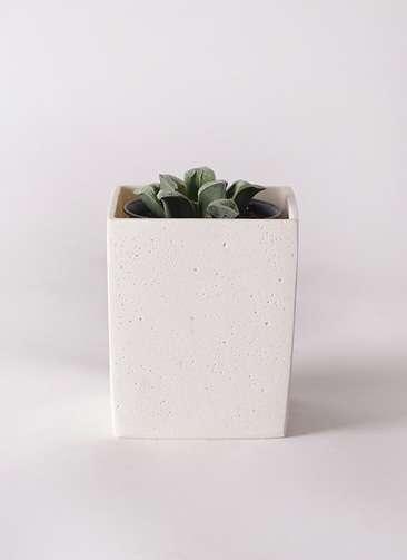 多肉植物 ハオルチア 氷雨(ひさめ) 3号 ポリストーンキューブSホワイト 付き