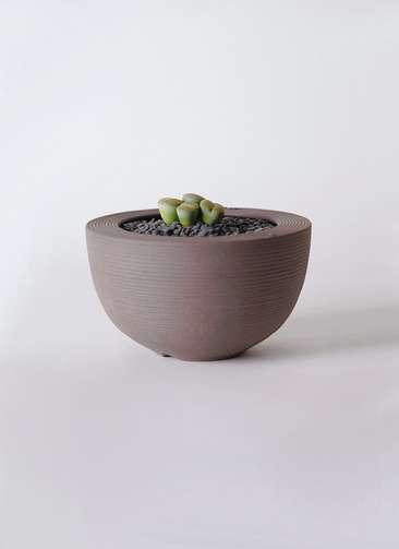 多肉植物 リトープス 緑 3号 Hemisphere 【L size】