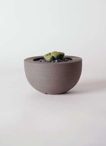 多肉植物 リトープス 緑 3号 Hemisphere 【M size】