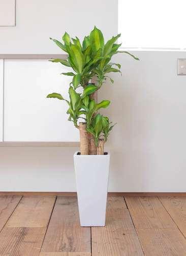 観葉植物 ドラセナ 幸福の木 7号 角高陶器