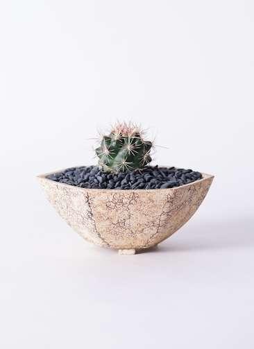 サボテン テロカクタス 和光丸(わこうまる) 3号 Type02 desert #δ 【L size】
