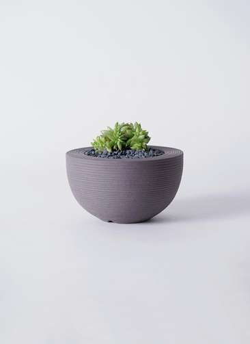 多肉植物 エケベリア 鯱(しゃち) 3号 Hemisphere 【M size】