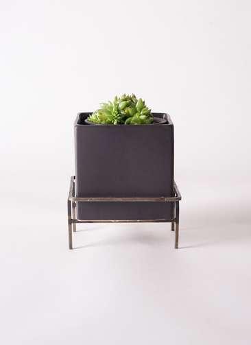 多肉植物 エケベリア 鯱(しゃち) 3号 Iron Stand Pot C5303 付き