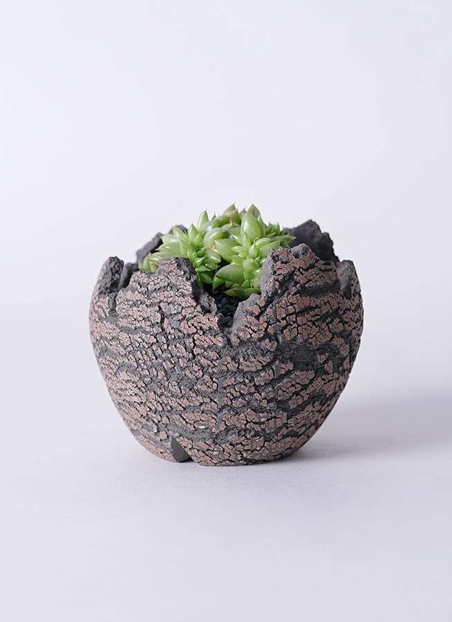 多肉植物 エケベリア 鯱(しゃち) 3号 Type01 fang 【S size】