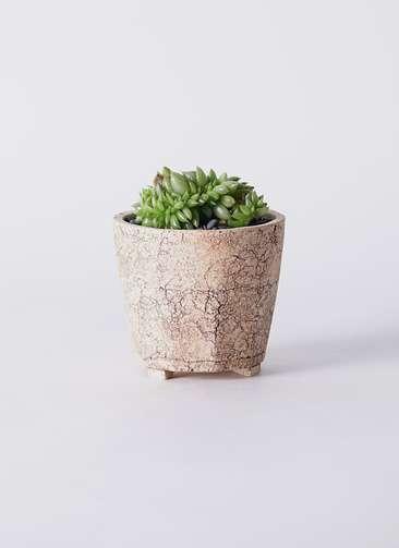 多肉植物 エケベリア 鯱(しゃち) 3号 Type02 desert #β 【M size】