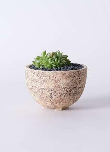 多肉植物 エケベリア 鯱(しゃち) 3号 Type02 desert #γ 【S size】