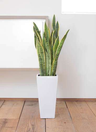 観葉植物 サンスベリア 7寸 角高陶器