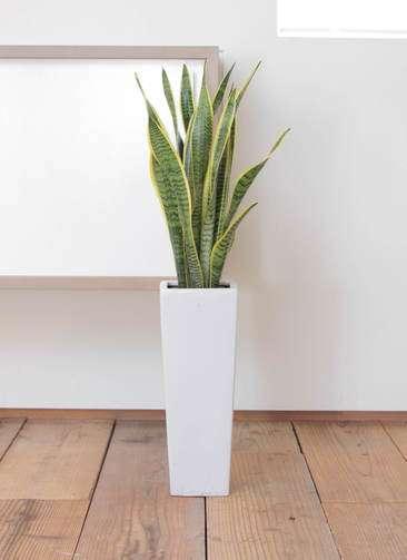 観葉植物 サンスベリア 7寸 角陶器ロング
