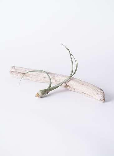 エアープランツ チランジア プセウド ベイレイ Sサイズ 流木 ロングセット