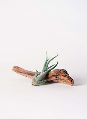 エアープランツ チランジア カプトメドゥーサエ Sサイズ 流木 ショートセット