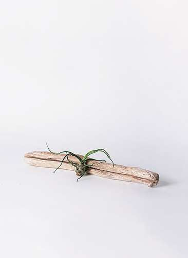 エアープランツ チランジア ブルボーサ Sサイズ 流木 ロングセット