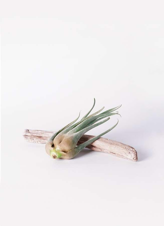 エアープランツ チランジア セレリアーナ Mサイズ 流木 ロングセット