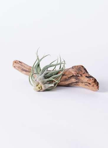 エアープランツ チランジア ブルイノーサ Mサイズ 流木 ショートセット