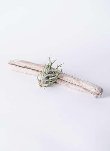 エアープランツ チランジア ブルイノーサ Mサイズ 流木 ロングセット