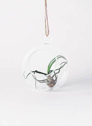 エアープランツ チランジア ブルボーサ Sサイズ ハンギング テラリウムセット