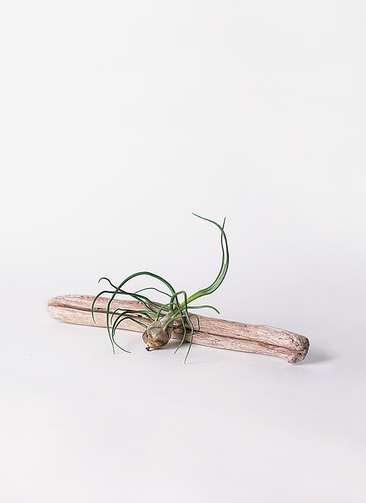 エアープランツ チランジア ブルボーサ Mサイズ 流木 ロングセット