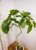 観葉植物 【178cm】 フィカス ウンベラータ 10号 #23310 4枚目