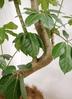 観葉植物 【200cm】ブラッサイア 10号 #23322 ※1都3県配送限定商品 2枚目