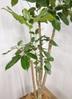 観葉植物 【155cm】 ブラッサイア8号 #23327 ※1都3県配送限定商品 3枚目