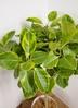観葉植物 【155cm】 フィカス アルテシーマ 10号 #23333 ※1都3県配送限定商品 3枚目