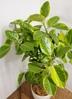 観葉植物 【150cm】 フィカス アルテシーマ 10号 #23334 ※1都3県配送限定商品 3枚目
